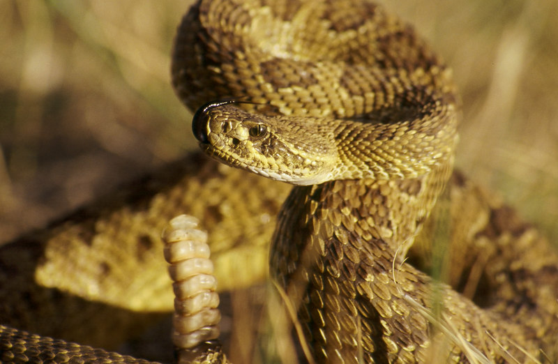 CV 30030 Prairie rattlesnake (Crotalus viridus viridus).  This snake has 7 rattles on its tail.  It is probably 2-3 years old.  Snakes add a new rattle every time they shed their skin.  They shed from 1-4 times per year.