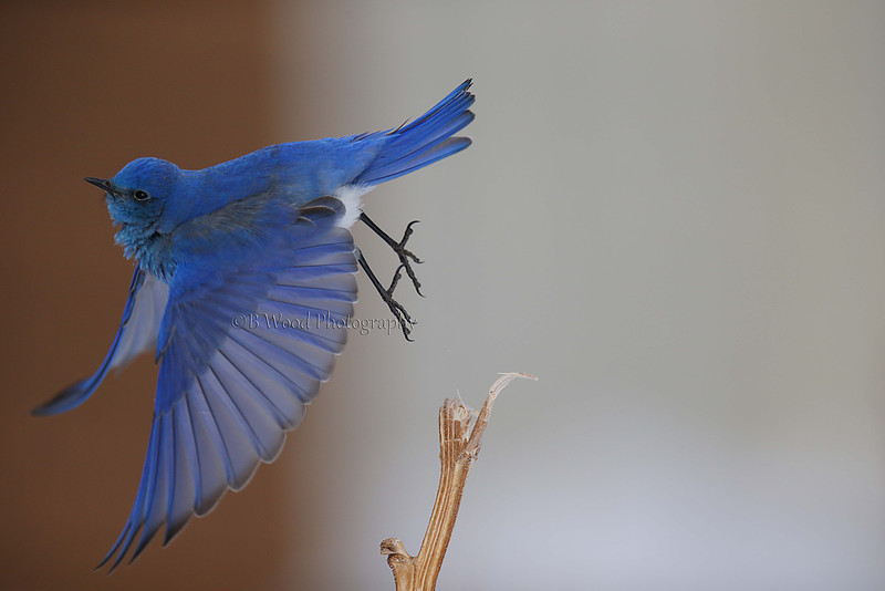 Mountain Bluebird taking off