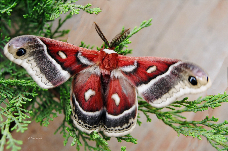 "Ceanothus Silkmoth (Hyalphora euryalus).  ""If nothing ever changed, there'd be no butterflies."" Unknown"